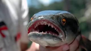 Рыбы не для новичков!