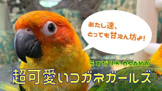 【えとぴりかOSAKA】超甘えん坊!コガネガールズ!【コガネメキシコインコ・Sun Conure】