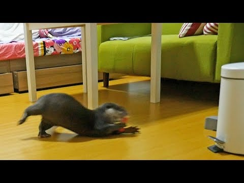 Otter discovery: Otter Bingo is crazy about clothes pin!