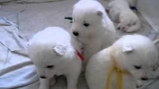 サモエド犬の赤ちゃんたち。生後ちょうど3週間目。よちよち歩きも少し慣...