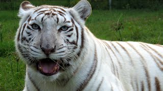 White Tigers - Get The FACTS!