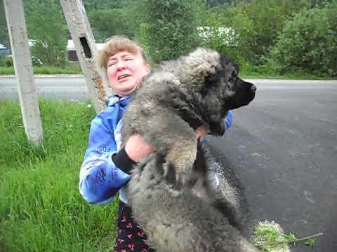 Очень крупный щенок кавказской овчарки Олварус Риддер Наурыз,2,5 месяца