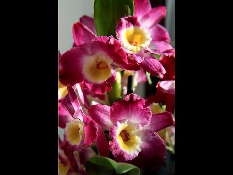 Орхидея Дендробиум Нобиле Как заставить цвести орхидею