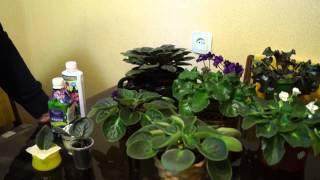 Как вырастить фиалки в домашних условиях(В этом видео показано и рассказано как выращивать и ухаживать фиалки в домашних условиях.http://youtu.be/OQ_yeiRKZ3Y..., 2015-03-10T19:06:42.000Z)