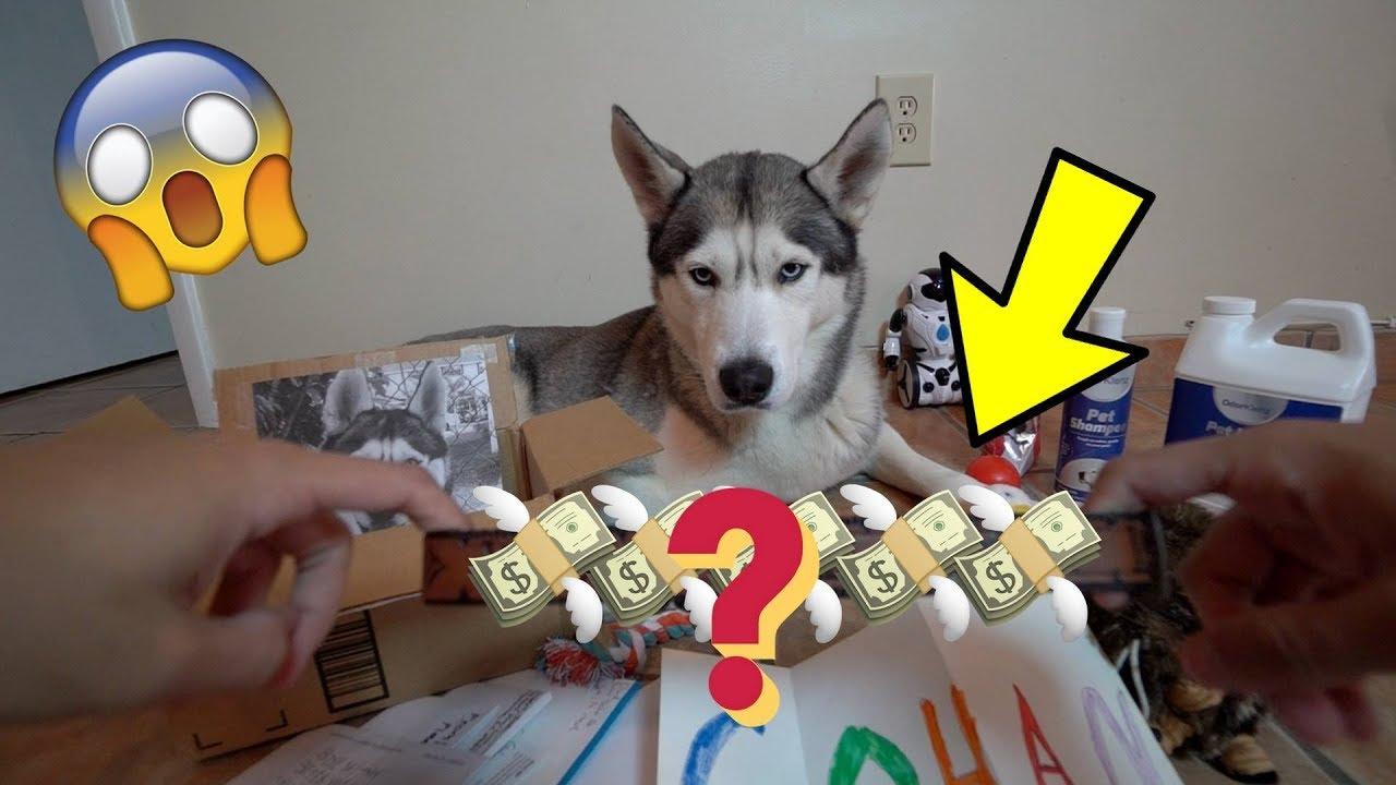 Someone Sent Us a $100 Dog Collar! - Husky Fan Mail #3