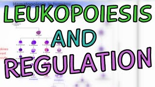 How are White Blood Cells made? Leukopoiesis - Cytokines - Regulation