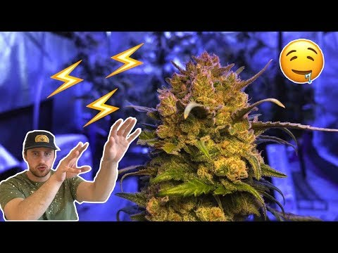 Growing Marijuana at Home has never been this Easy!