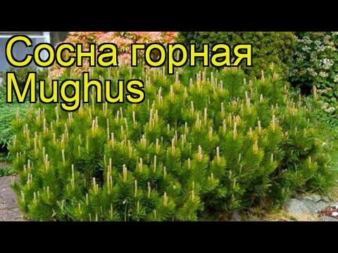 Сосна горная Мугус (Сосна горная Mughus). Краткий обзор, описание характеристик, где купить, саженцы