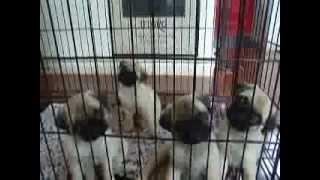 我が家で生まれたパグの子犬たちが、私の声に合わせて首を振っています。