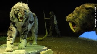 Young Saber-Toothed Cats Relied On Parents While Teeth Grew - Newsy