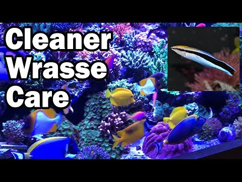 Cleaner Wrasse Care:  A How To Guide from AquariumDepot.com