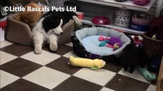 Little Rascals Uk Breeders New Litter Of Japanese Spitz Cross German Spitz Puppies