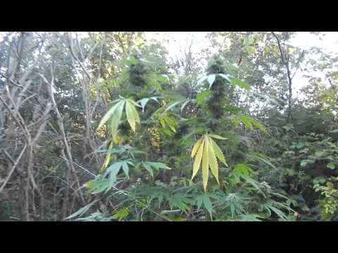 FOUND GUERRILLA WEED CANNABIS OUTDOOR