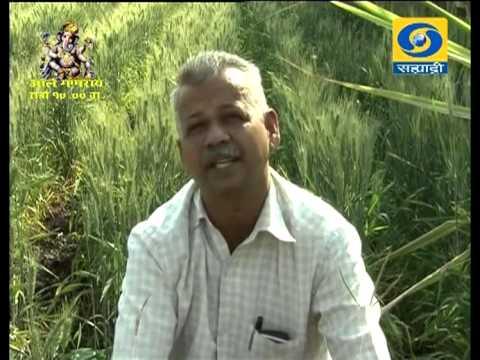 A Success Story on Organic Wheat Farming _ सेंद्रिय गव्हाची लागवड-यशोगाथा