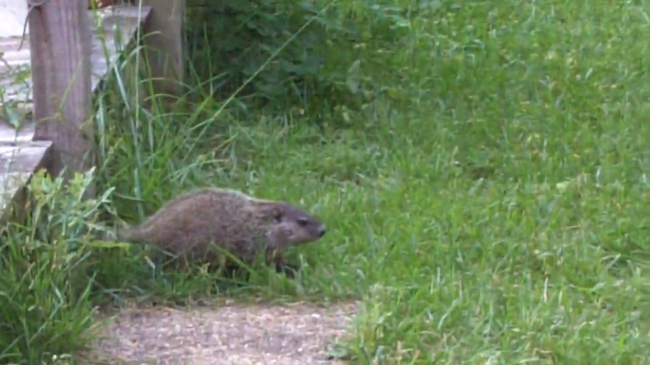 Baby Ground Hog Stop Diggin Up My Yard