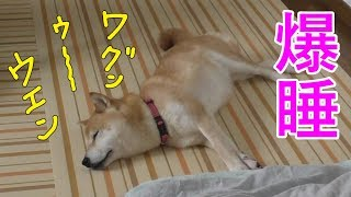 どんな夢を見てるのかな?柴犬の小春、寝言を連発する