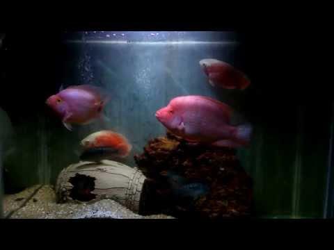 American Cichlid fish Tank