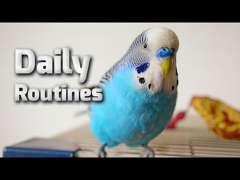 Budgie daily routine