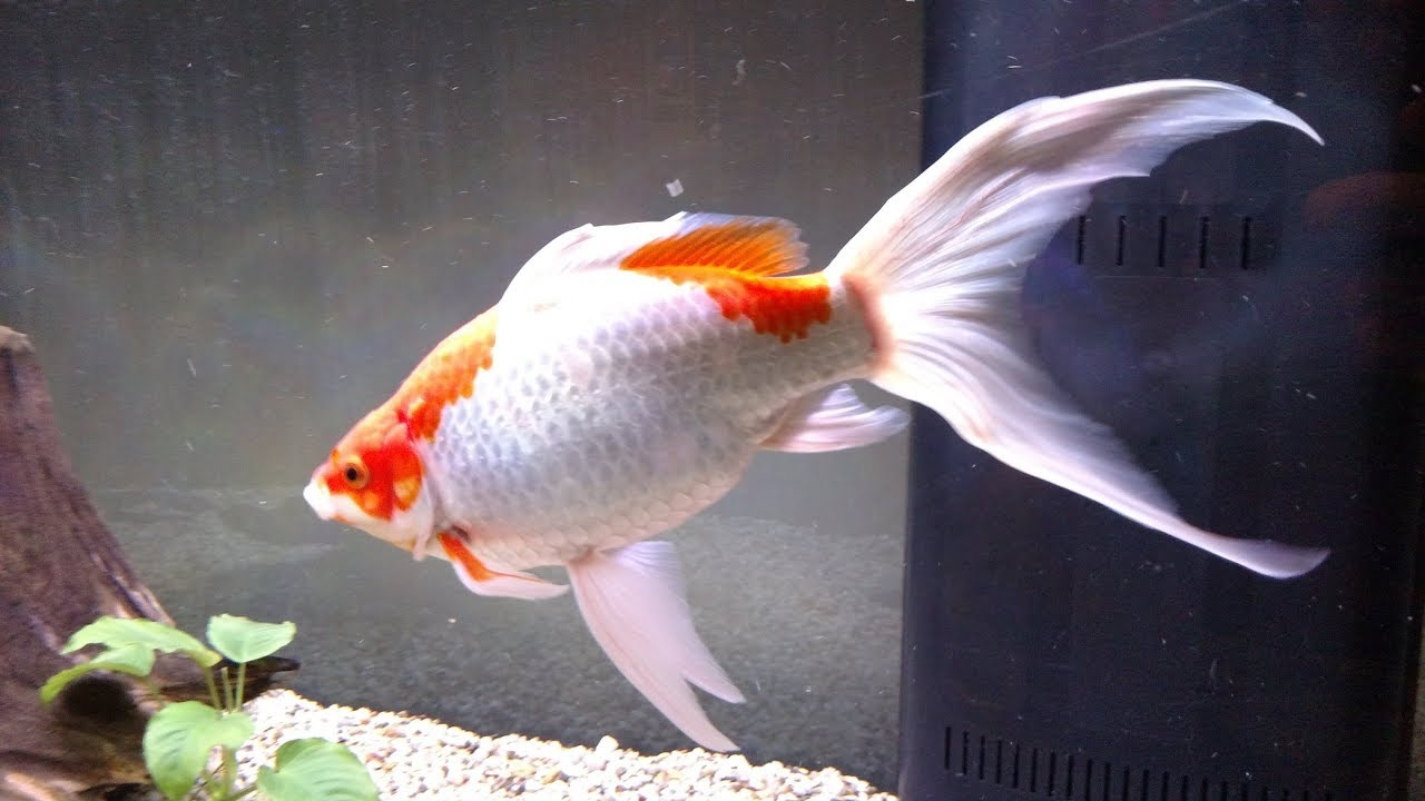 HUGE Sarasa Comet Goldfish 15 inches long in 210 gallon ...
