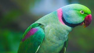 alexander papağanımız (Konuşturma eğitimi)