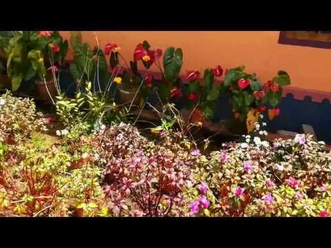 Dutch amaryllis , Anthuriums [Exotic Flowers & Plants] India