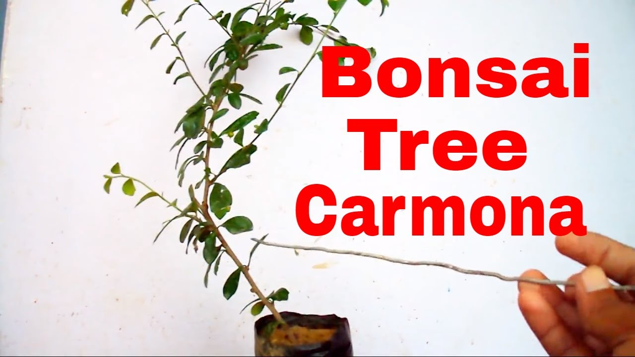 how to grow carmona bonsai tree wiring style tips care 5 sep 2017
