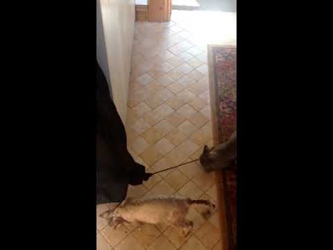 devon rex kittens trying to steal a coat funny clip