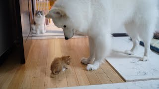 Large Dog vs. Kitten