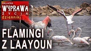Flamingi z Laayoun - dzienniki