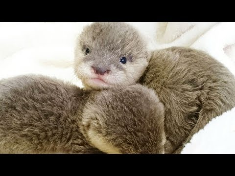 Cutest Small Clawed Otter Baby