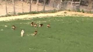 """Jeunes Beagle Harrier """"des échos Du Tenillé"""" Sur Sanglier"""