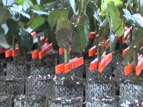 Прививка роз зимой видео