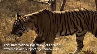#InternationalTigersDay