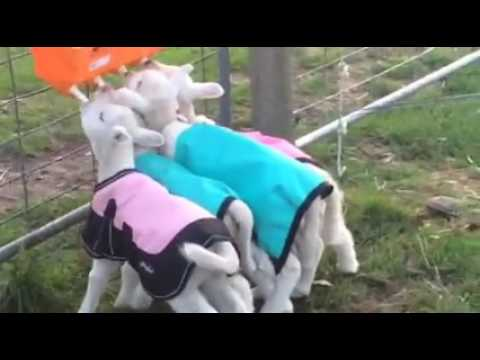Baby Lambs Breakfast Stampede