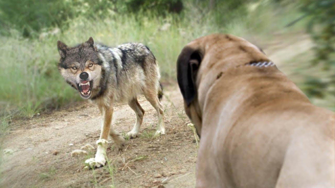 These Are 10 Dog Breeds that can Defeat Wolves
