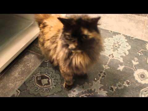 Gorgeous Long Hair Tortoiseshell Cat