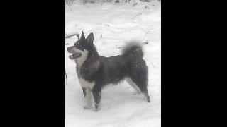 Эпизоды притравки и охоты с Восточно-сибирскими Лайками