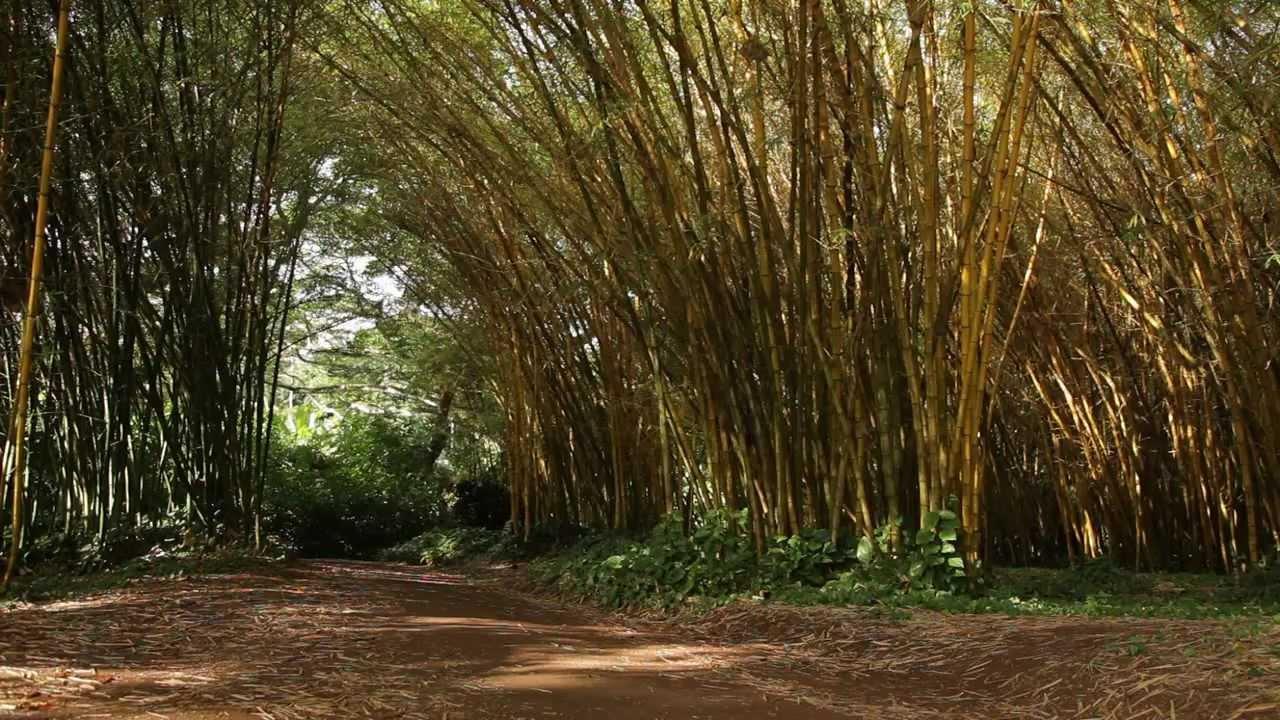 Bamboo Grove - Allerton Garden - National Tropical Botanical Garden ...