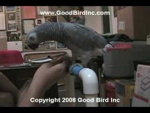 Training an African Grey Parrot to Allow Foot Touching