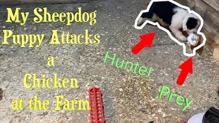 My Old English Sheepdog Puppy Attacks a Chicken at the Farm