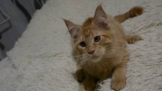 Красный тигровый котенок мальчик Мейн-кун