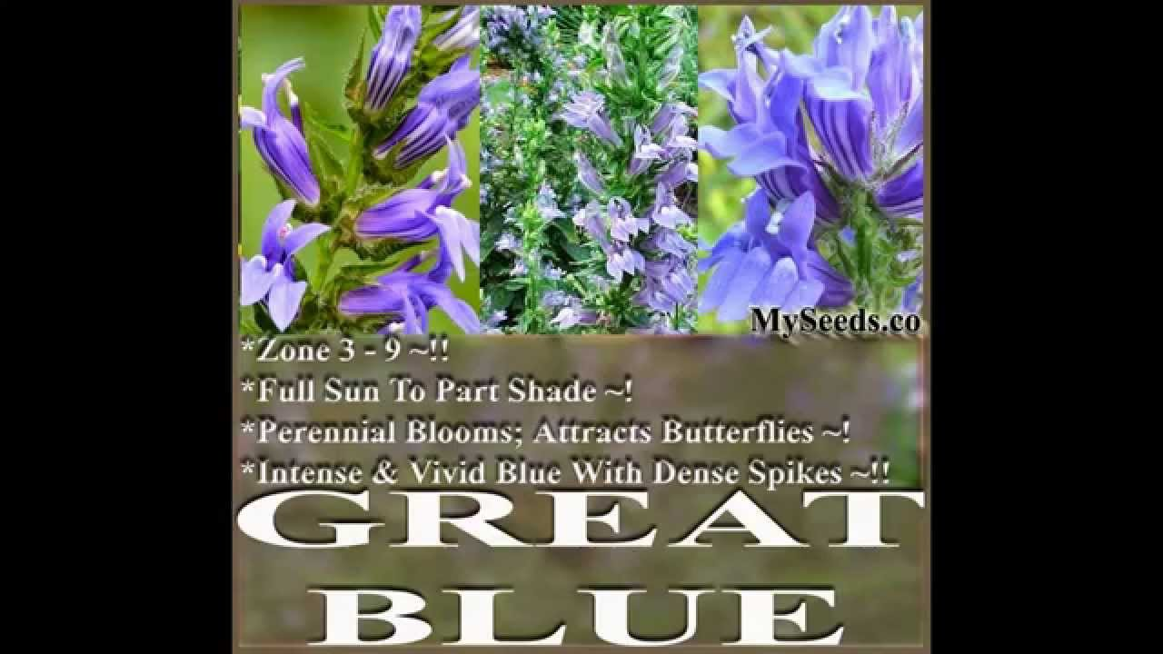 Great Blue Lobelia Lobelia Siphilitica Flower Seeds On Wwwmyseeds