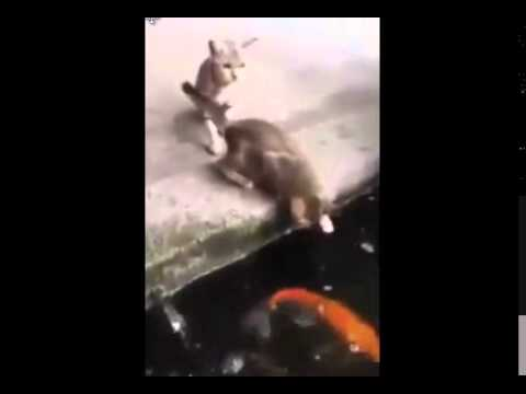Koi Eats Cat