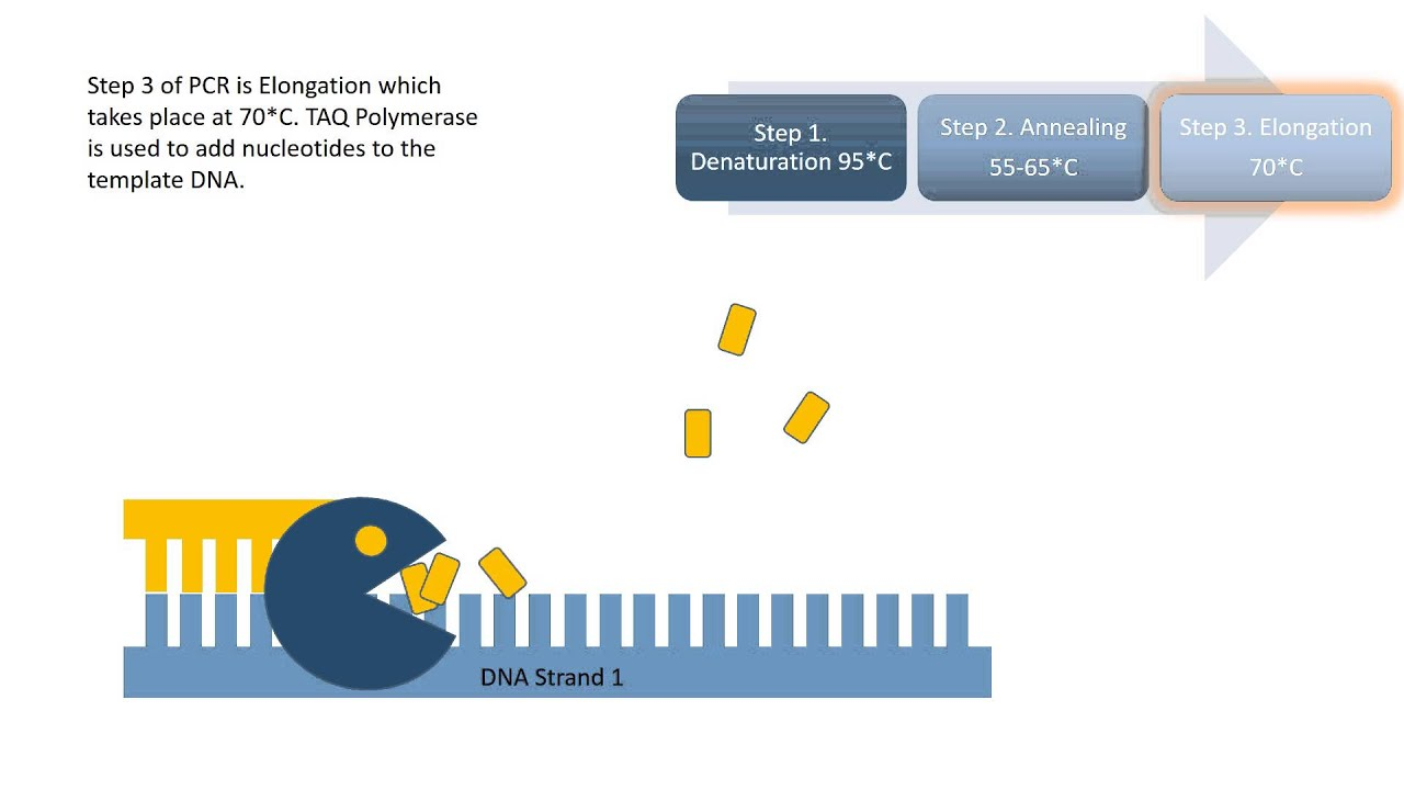 Pcr Procedure Animation