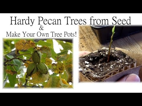 How to Grow Pecan Trees from Seed