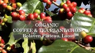 Organic Coffee and Tea Plantation in Bolaven Plateau, Laos