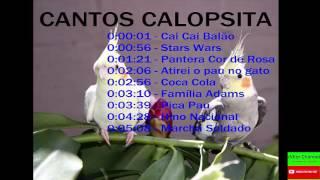 Cantos Para Amansar Calopsita e fazer ela cantar