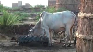 India's Holy Cow Becoming Extinct (from Krishnatube.com)