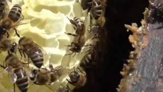 как разводить пчёл(Летняя откачка мёда на сибирской пасеке Е.Н.Романченко http://www.sibpaseka1.ru/, 2014-11-11T07:38:44.000Z)