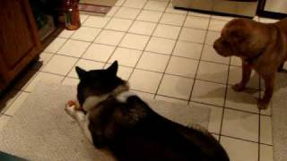 Japanese Akita And Chinese Shar Pei Fight Over Toy